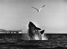 """Sebastião Salgado - Na Patagônia argentina, baleia é clicada no exato momento em que realiza um salto para fora d""""água quando passa uma gaivota"""