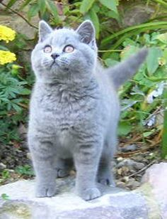 Blue female kitten