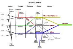 my life right now... the Brachial Plexus
