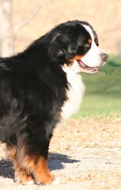 I used to have a Mountain Bernese dog.... He was the best :) <3
