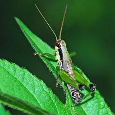 An online resource devoted to North American insects, spiders and their kin, offering identification, images, and information. Grasshoppers, Pennsylvania, Insects, Animals, Earth, Animales, Animaux, Animal, Animais
