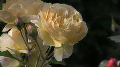 Spaziergang durch den Rosengarten