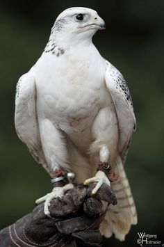 "White Gyr Falcon also called ""Greenlandic Falcon""."