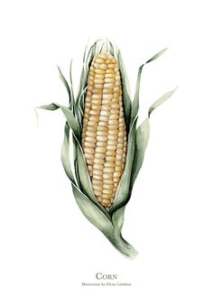 Corn. Watercolor Botanical Illustration. Limited Edition Art Print