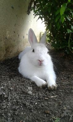 Cute Bunny Pictures, Animal Pictures, Animal Babies, Cute Baby Animals, House Rabbit Society, Indoor Rabbit, Bunny Bunny, White Rabbits, Funny Bunnies