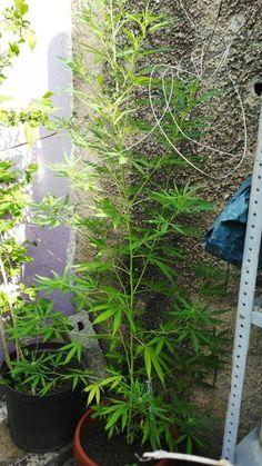 JesusR para #GrowLandiaComunidad - http://growlandia.com/highphotos/media/mi-baby-mayor/
