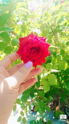 Beautiful Roses, Beautiful Hands, Love Flowers, Spring Flowers, Henna Art Designs, Hand Photography, Stylish Dpz, Girl Photo Poses, Girly Pictures