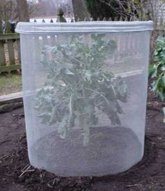 How to protect your broccoli, cauliflower, and cabbage seedlings (without spending a fortune) - Brown Thumb Mama