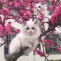 Cute kittens on a pink tree ♥ Cute Kittens, Gatos Ragdoll, Gatos Cats, Ragdoll Cats, Pretty Cats, Beautiful Cats, Animals Beautiful, Cute Baby Animals, Animals And Pets