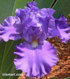 Cool Running Tall Bearded Iris