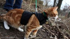 Training a Cat to Walk on a Leash - A growing number of animal behaviorists believe that training and walking cats is not only possible, but good for the cat.