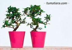 Con tamaños diferentes y una amplia gama de colores, esta matera es perfecta para tus plantas pequeñas y ambientar cualquier espacio. Encuentralas en: http://www.tumatera.co/products/mpa-1818porto/
