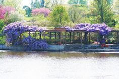 Wisteria over the Perennial Garden Arbor at Powell Gardens