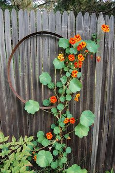 Climbing nasturtium- Trapeolum majus A completely edible annual vine, rounded leaves and bright trumpet flowers add to my bubbling teapot concept. Dream Garden, Garden Art, Terrace Garden, Diy Garden, Garden Trellis, Garden Beds, Pot Jardin, My Secret Garden, Edible Garden