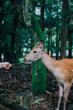 nara, japan. deer park. woods