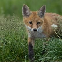 Red Fox Kit via Pixdaus