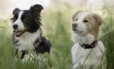 Discover Border Collie puppies from Balmoral Border Collies in California. Find the right dog for you on Good Dog. Collie Puppies For Sale, Border Collie Puppies, Collie Dog, Border Collies, Golden Retriever Collie Mix, Border Collie Welpen, Dog Park, Puppy Pictures, Best Dogs