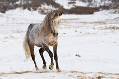 dapple gray horse in the snow