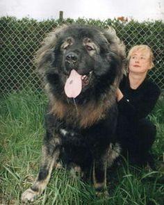 Kangfu Panda: King of Dogs Caucasian Shepherd