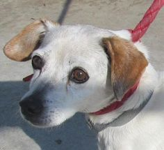 """MEET OUR LOVABLE SWEET SENIOR BEAGLE """"GEM""""! She is absolutely the sweetest dog at the pound...please stop by and pay Gem a visit, she would love the company! CANTON OHIO... WE ALSO HAVE MANY MORE WONDERFUL DOGS IN NEED OF HOMES! CLICK HERE TO SEE LIST>>> http://www.petfinder.com/petdetail/27668814/"""