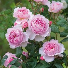 The Ancient Mariner - David Austin Roses