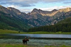 Moose drinking at Piney Lake. #VailValley, Colorado by Sophia Floyd.