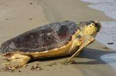 EPIRUS TV NEWS: Τι να πεις...Ξεκοίλιασαν νεκρή χελώνα για να πάρου...