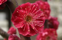 Ume, the Japanese Plum Tree, Prunus mume – Botany Boy Plum Flowers, Simple Flowers, Types Of Flowers, Colorful Flowers, Japanese Plum Tree, Prunus Mume, Unusual Plants, Blossom Trees, Gardens