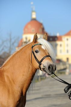 Munich 2010 (pedigree precious blood Haflinger 5.469%)