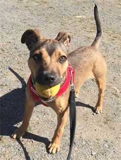 🐾viewing🐾 Forest Dog Rescue - Roxy - Puppy    CROSSBREED BITCH (Approx 6 months)  Beautiful girl     #forestdogrescue #seconchancehome #rescuedog #rescuedogs #dogrescue #wyreforest #worcestershire #farforest #shropshire #bewdley #stourport #kidderminster #ludlow #bridgnorth #highley #bromsgrove #tenburywells