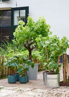 Tuinplanten van Juni: klimfruit