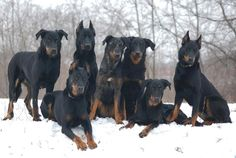 Kennel de lAme du Loup Beauceron kennel. My hopefully future household will look similar to this :)