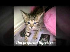 Olhem que tigrinho + fofo!!! Rs Gatinho ainda arisco + em breve estará mansinho para poder ser adotado!!! Se inscrevam no nosso canal, é muito importante pra...