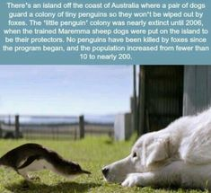 these dogs helped protect a colony of penguins - Penguin Funny - Funny Penguin meme - - Man and penguins best friend. The post these dogs helped protect a colony of penguins appeared first on Gag Dad. Animals And Pets, Funny Animals, Cute Animals, Animal Fun, Animals Beautiful, Wtf Fun Facts, Random Facts, Funny Facts, Random Animal Facts