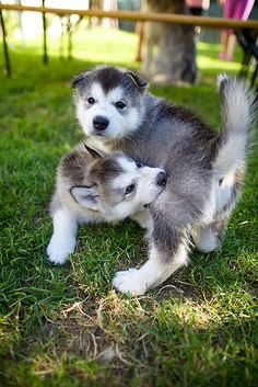 Alaskan Malamute puppies..het U did a blow off...sorry