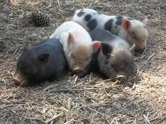 Fall/Winter Micro- Pot Belly Pigs