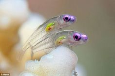 Two gobies, MarsaAlam, Egypt. (Photo: Tobias Friedrich) A fleeting encounter of two translucent goby fish won the top prize at the 2011 Annual Underwater Photography Contest, hosted by the University of Miami, judges announced April Underwater Creatures, Underwater Life, Underwater Photos, Ocean Creatures, Underwater Photography, Beautiful Sea Creatures, Animals Beautiful, Goby Fish, Fish Fish