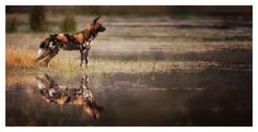 fine art wildlife image of a wild dog in the Okavango by wildlife photographer Dave Hamman African Wild Dog, Water Reflections, Wild Dogs, African Animals, Wildlife Art, Colour Images, Creatures, Horses, Fine Art