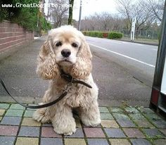 """Find out additional relevant information on """"spaniel puppies"""". Visit our site. Perro Cocker Spaniel, American Cocker Spaniel, English Cocker Spaniel, Cute Baby Animals, Animals And Pets, Cute Puppies, Dogs And Puppies, Pet Dogs, Dog Cat"""