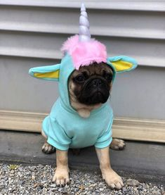 Unipug Photo by @goodboybernie Want to be featured on our Instagram? Tag your photos with #thepugdiary for your chance to be featured. #pug