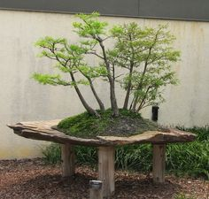 Bald cypress is one of the most widely chosen trees for bonsai beginners. It is widely used for forest style of bonsai. You could either chose to grow it from a bald cypress seed or cut out a branch from an existing tree and then grow it in your own garden.