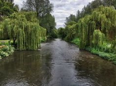 Weeping Willows on the river by UniquePhotoArts