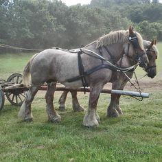Jutland horse