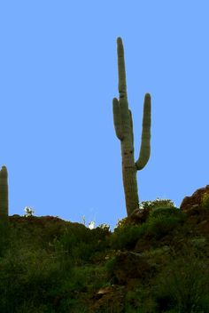 How to draw a Saguaro Cactus | Step by step Drawing ...
