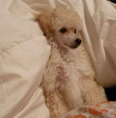 TOY POODLE SOPHIE Ready for bed