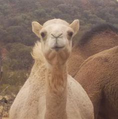 All Aussie Opals Baby Camel, Personal Photo, Wells, Cute Babies, Australia, Animals, Animaux, Animal, Animales
