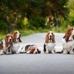 Собаки породы бассет-хаунд кажутся печальными и так трогательно выпрашивают лишний кусочек, что трудно поверить, насколько они веселы и довольны жизнью. Описание и фото породы.