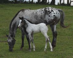 Appaloosa mare and foal, coffeecup and foal Carolina