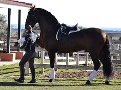 Young talented sport PRE, good level half pass, lateral, excellent canter pirouttes, piaffe/ passage. A very complete, handsomeand intelligent stallion with a great work attitude and 3 good gaits. Knowsspanish walkand lying down.  Sired by ablack very famous stallion sold to Mexico.