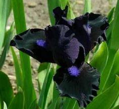 Las inusuales y raras flores negras